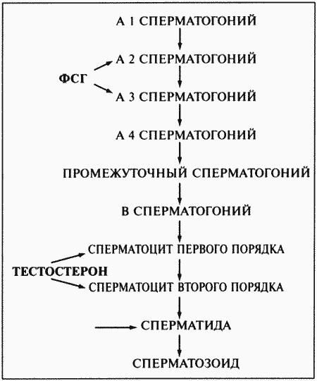 Процессы сперматогенеза