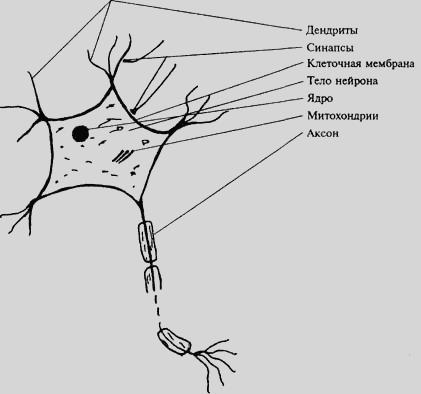 Аксон заканчивается синапсом