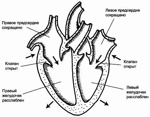 Первая фаза сердечного цикла.