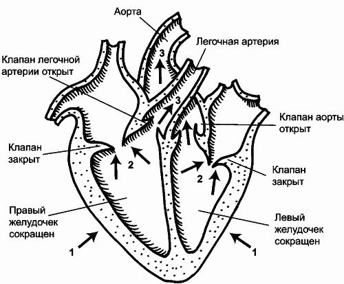 Вторая фаза сердечного цикла.